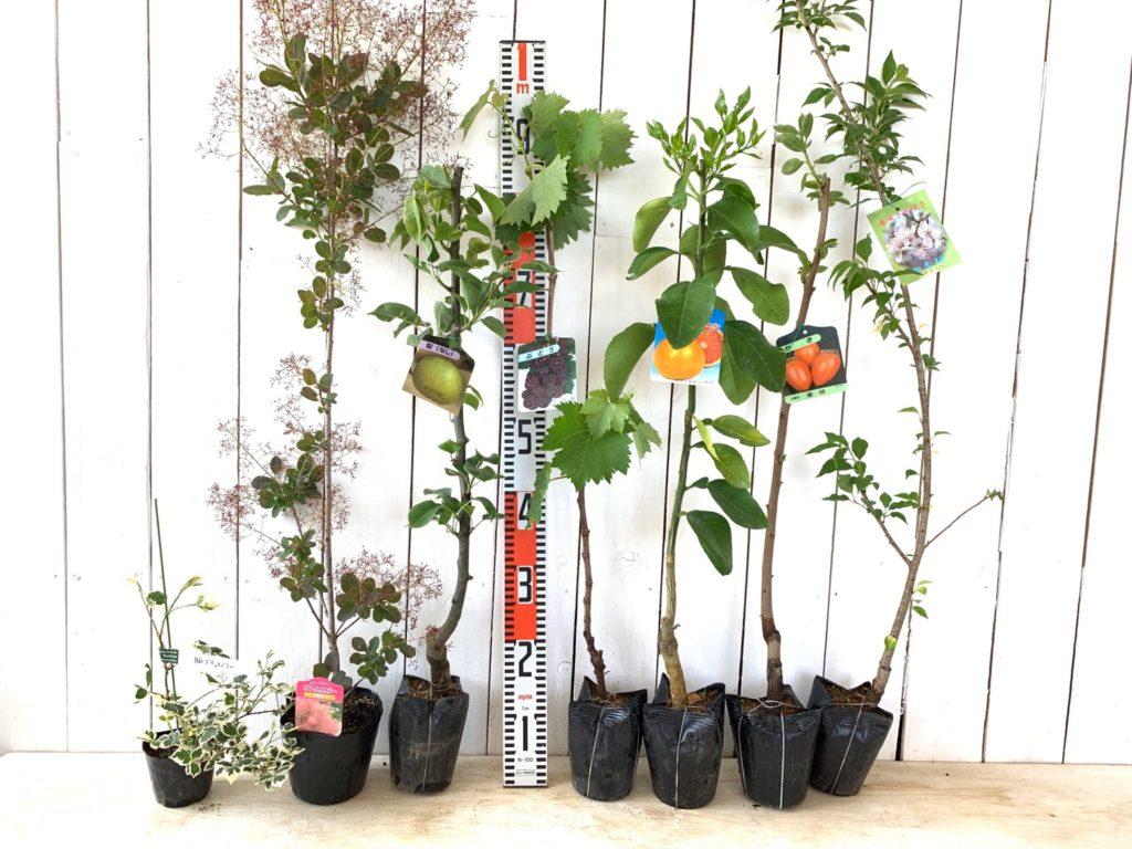 ブラックベリー、スモークツリー、梨、葡萄、グレープフルーツ、柿、桜などの本日の発送苗