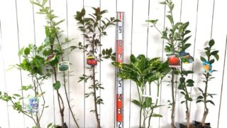 ブルーベリー、ぶどう、葉山椒、スモモ、アオキ、林檎、シークワーサー、柚子などの本日の発送苗