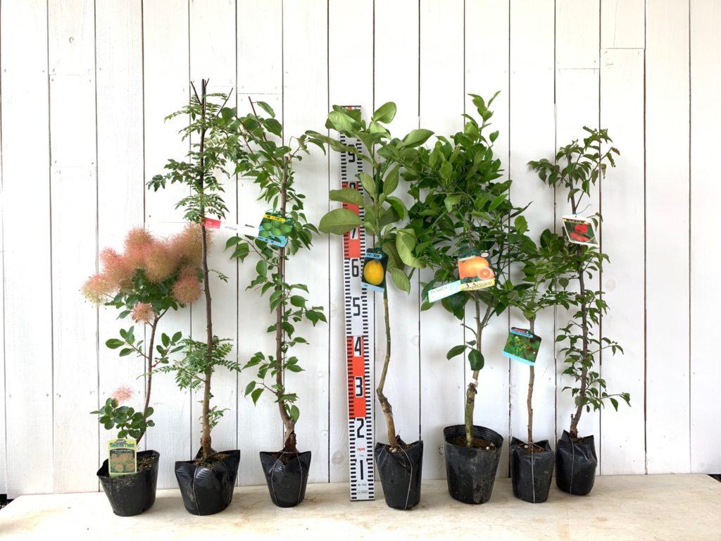 スモークツリー、サンショウ、うめ、ざぼん、ミカン、たら、花梅などの本日の発送苗