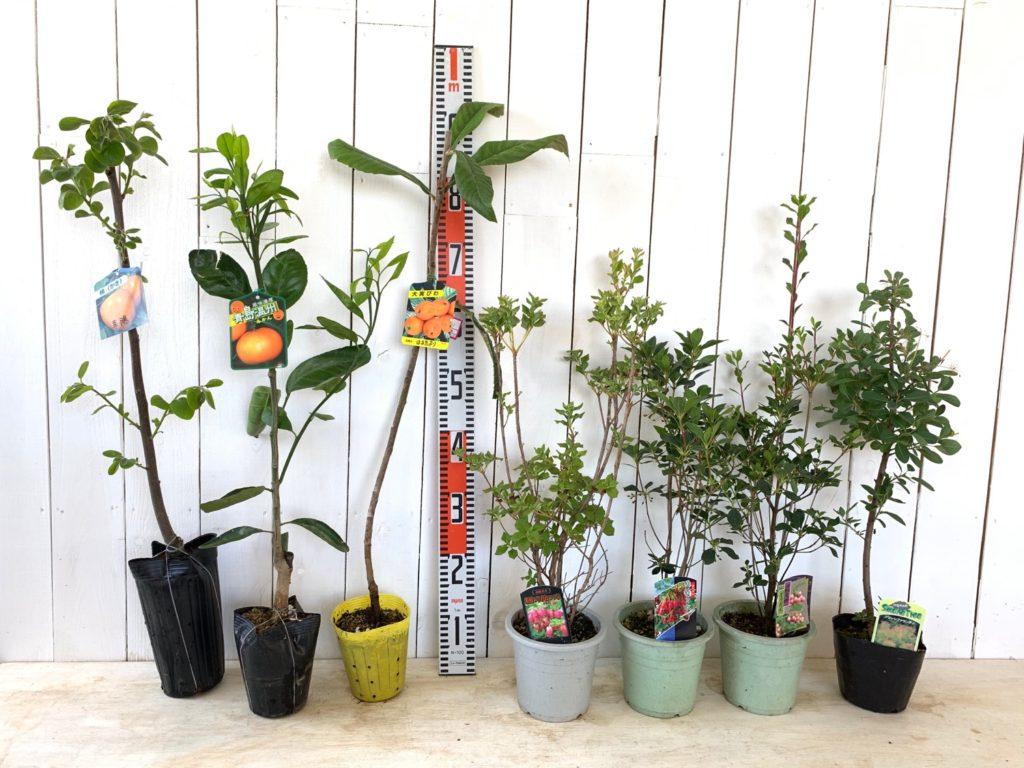 渋柿、蜜柑、枇杷、躑躅、スモークツリーなどの本日の発送苗