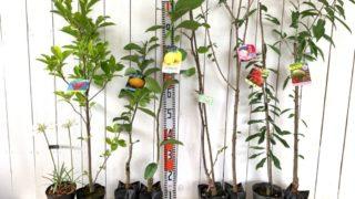 ユリ、マグノリア、蜜柑、れもん、キウイ、桜、山桃、アーモンドなどの本日の発送苗