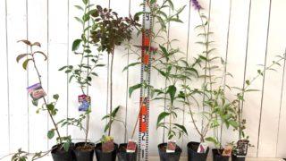 ビバーナムメリーミルトン、ブルーベリーチャンドラー、スモークツリー、ブッドレア、ボイセンベリー、斑入りブラックベリーなどの本日の発送苗