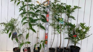 ビルベリー、ブッドレア、葉さんしょう、うめ、イチジク、石楠花などの本日の発送苗