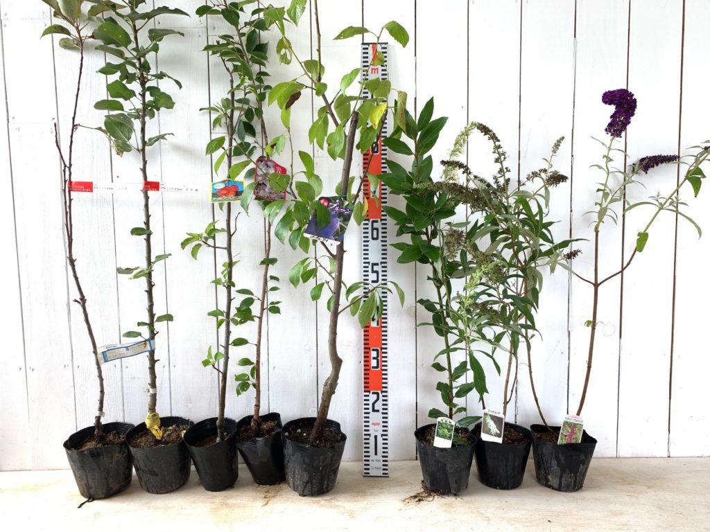ジュンベリーメイポール、ジュンベリーボレロ、あるぷすおとめ、そめいよしの、ぷるーん、月桂樹、ほわいとぷろふゅーじょん、ブラックナイトなどの本日の発送苗