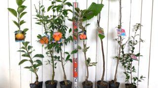 甘夏、不知火、ぽんかん、筆柿、無花果、雅桜、有希などの本日の発送苗