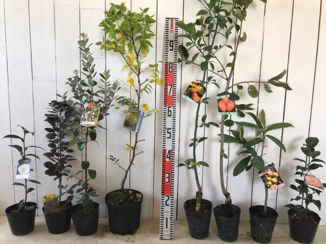 仙台白椿、ロイヤルパープル、クーリッジ、大実なつめ、小みかん、筆柿、茂木びわ、雪子国などの本日の発送苗