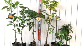 夏みかん、ヘベス、スイーティー、杏新潟大実、ザキング、三つ葉あけび、バナナアケビなどの本日の発送苗