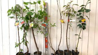 大玉白鳳、矢口桃ピンク、バナッチ、ザクロ、ぐんま名月、黒琥珀、花柚などの本日の発送苗