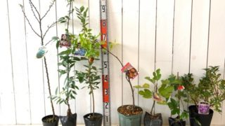 葉さんしょう、庭桜、チャンドラー、皇帝ナツメ、ブラウンターキー、かじ苺、黒潮などの本日の発送苗
