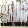 勘次郎、葉さんしょう、メスレー、黒琥珀、横浜緋桜、大寒桜などの本日の発送苗