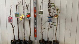 旭山桜、信濃小梅、アップルキウイ、ジョナゴールド、源平しだれ、ミスティー、岸根栗などの本日の発送苗