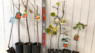 御室有明、筆柿、陽豊、禅寺丸、キウイ早雄、香緑、さよわびすけ、ラズベリーインディアンサマーなどの本日の発送苗