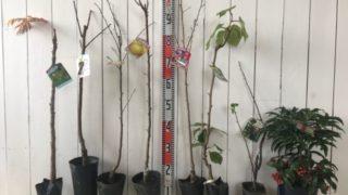 棘なしたら、黒柿、りんご祝、ぐんま名月、啓翁桜、キウイトムリ、カシス、大実万両赤などの本日の発送苗