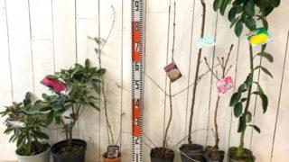 初雪シャクナゲ、里の春、斑入りブラックベリー、ローズエース、ケルシージャパン、旭山桜、獅子ゆずなどの本日の発送苗