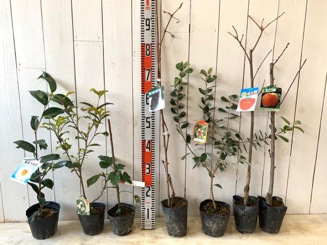 白錦魚葉椿、やぶきた茶、かじいちご、クーリッジ、富士柿、ゆうぞら 桃などの本日の発送苗