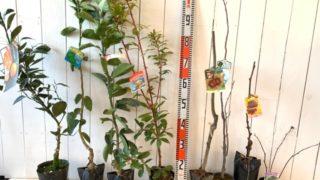 させぼ温州みかん、ライム、河内晩柑、ストロベリーツリー赤、岸根栗、カシス、トゲなしブラックベリーなどの本日の発送苗