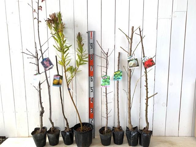 ベイラープルーン、大寒桜、かりん、マクロセラファ プロテア、高田梅、豊後梅、残雪しだれ花桃、寒緋桃 花桃などの本日の発送苗