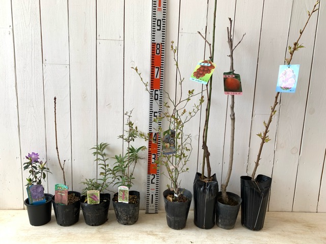 クレーターレーク躑躅、フリゴフオリウス スモークツリー、オーキッドビューティー ブッドレア、ブラックナイト ブッドレア、パウダーブルー ブルーベリー、ノースレッド葡萄、津軽りんご ワイ性、紅時雨桜などの本日の発送苗