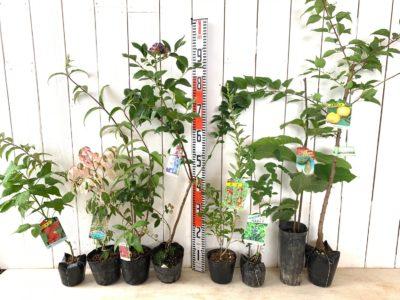 インディアンサマー ラズベリー、フラミンゴ ネグンドカエデ、ロイヤルレッド ブットレア、チャンドラー ブルーベリー、クコの実、大実ハスカップ、ポポー、おひさまコット杏などの本日の発送苗