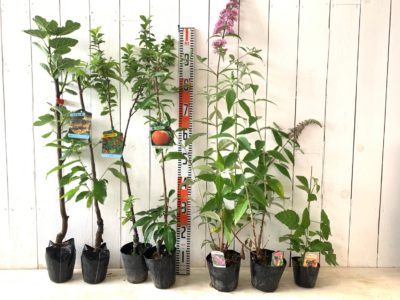 セレスト無花果、棘なしタラ、ゆすら梅 赤実白花、なつおとめ桃、ピンクパール ブットレア、フラワーパワー ブットレア、ボイセンベリーなどの本日の発送苗