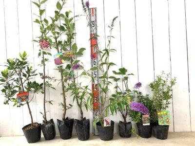 姫いちごの木赤花、花かいどう、貴陽すもも、印度林檎、ナンホーブルー ブットレア、ホワイトカラント、リンゴンベリー、クコなどの本日の発送苗