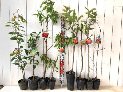 かぎろひ椿、種なしカボス、矢口花桃 赤花、なつおとめ桃、筆柿、インド林檎、富士林檎 ワイ性、アルプス乙女林檎などの本日の発送苗