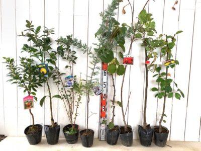 ストロベリーツリー白花、日向夏、ミスティー ブルーベリー、ミモザ プルプレア、アップルキウイ、相模しだれ 花桃 赤花、セレスト無花果、花梨などの本日の発送苗