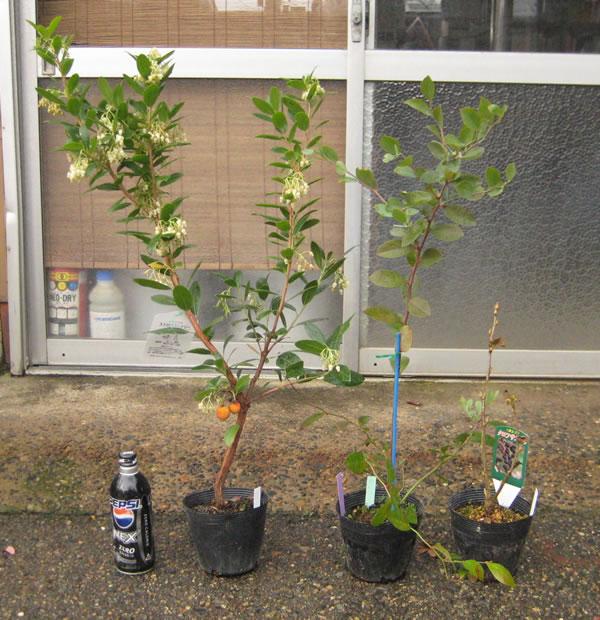 姫イチゴの木トその他の苗の写真