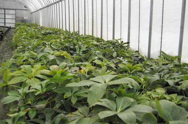 木口交配種クリスマスローズ苗の予約開始