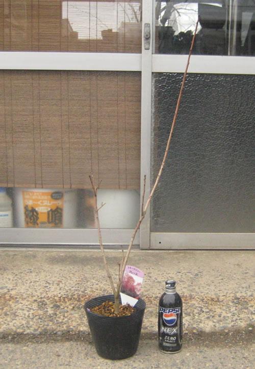 スモークツリー・グレース 4年生苗の写真依頼苗