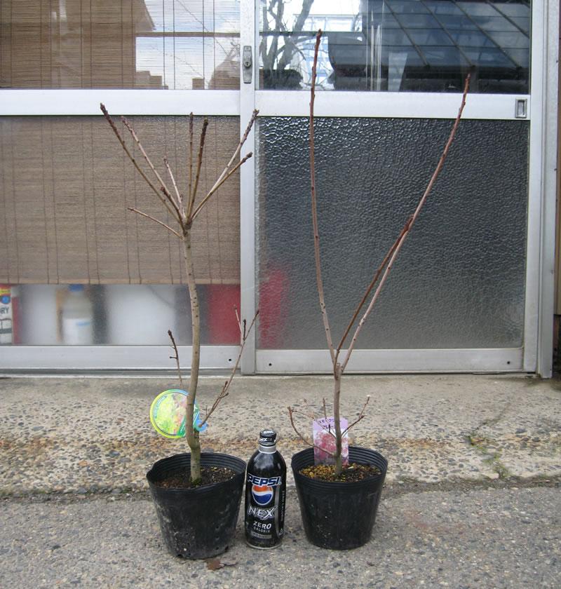 スモークツリー 4年生苗の依頼写真