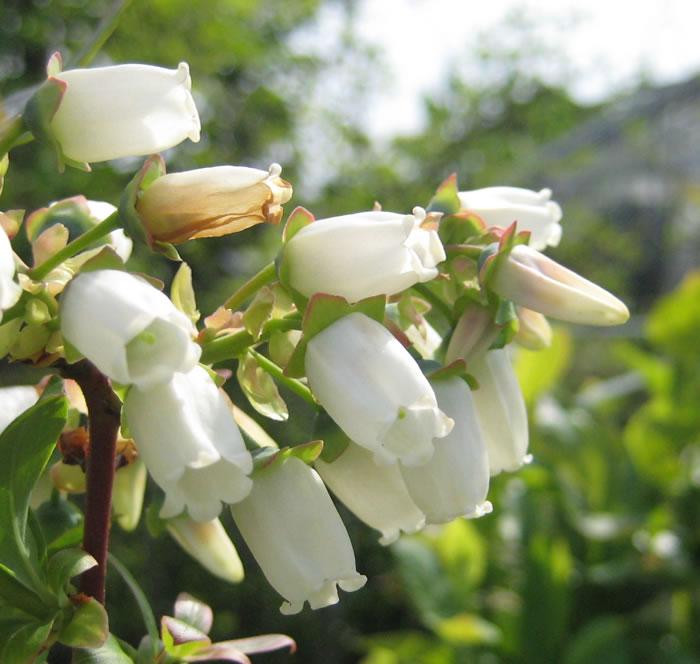 ブルーベリー・チャンドラーの花