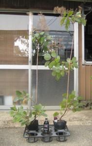 スモークツリー・グレース 4年生苗の写真