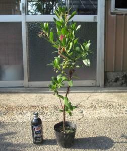 姫イチゴの木 3年生苗の写真依頼苗