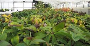 クリスマスローズ 木口交配種使用 3年生苗の発送開始
