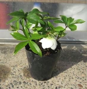 クリスマスローズ ダブル咲き 木口交配種使用 3年生苗の開花情報