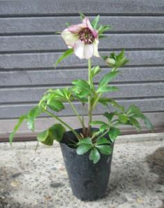 クリスマスローズ 木口交配種使用 3年生苗の写真依頼苗