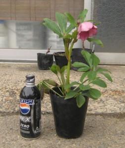 クリスマスローズ ピンク系 木口交配種使用 3年生苗の写真依頼苗