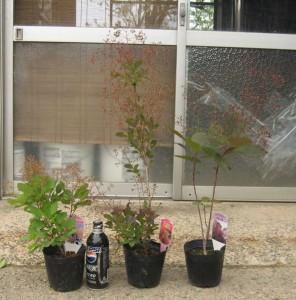 スモークツリーの発送苗写真