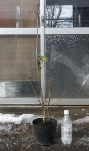 スモークツリー・ゴールデン スピリット 4年生苗 の写真依頼苗