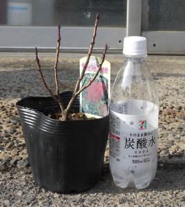 スモークツリー・ベルベット クローク 3年生苗 の写真依頼苗