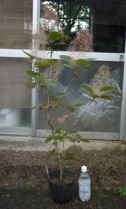スモークツリー・グレース 4年生苗 の写真依頼苗