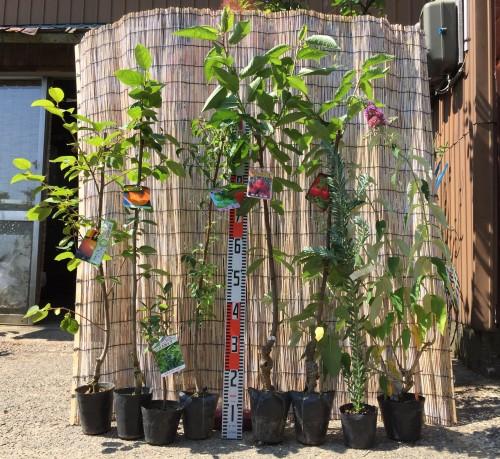 柿、サクランボ、ブットレアなどの本日の発送苗