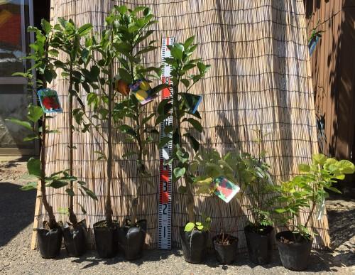 サクランボ、柑橘類、ラズベリーなどの本日の発送苗