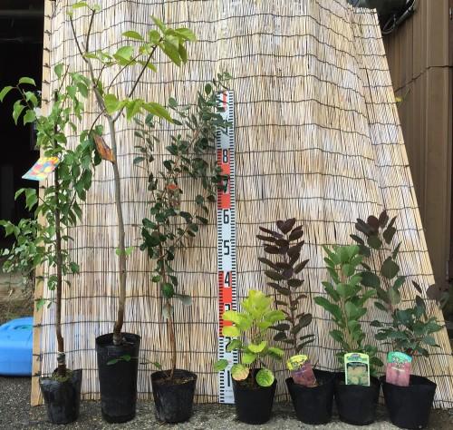 梅、柿、スモークツリーなどの本日の発送苗