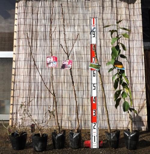 ブットレア、桜、レモンなどの本日の発送苗