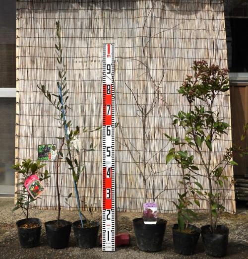イチジク、スモークツリー、ジュンベリー、サクラなどの本日の発送苗