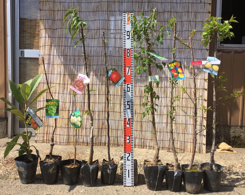 スモークツリー、りんご、梅、あんず、ブルーベリーなどの本日の発送苗