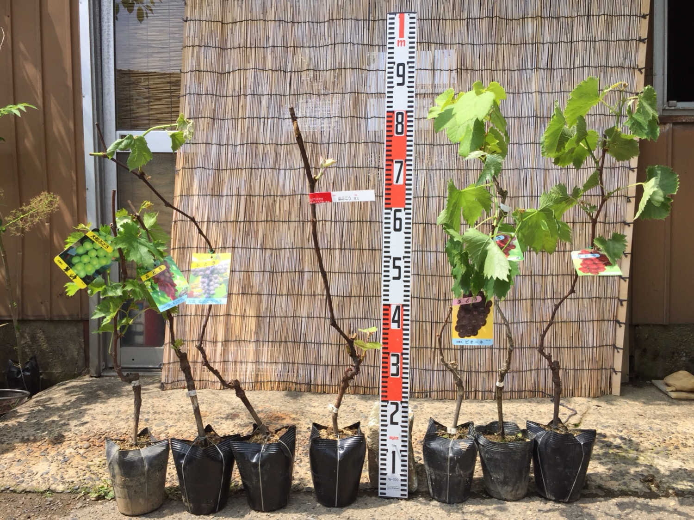 ぶどう、スモークツリー、りんごなどの本日の発送苗