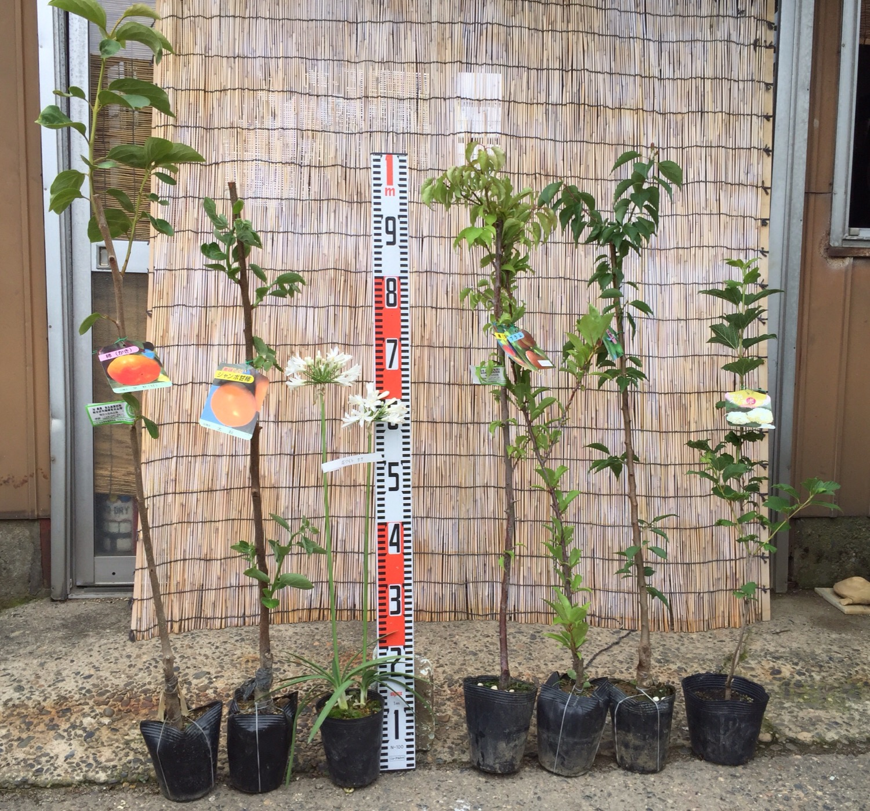 柿、アガパンサス、梅、プラム、ビバーナムなどの本日の発送苗
